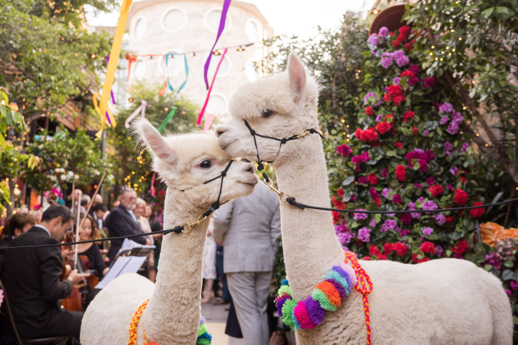 Colourful Alpacas At Wedding